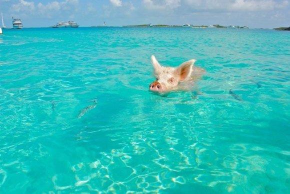 BahamasPig.jpg