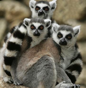 ring-tailed-lemurs-1014121